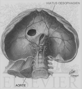 Le diaphragme se compose de hiatus